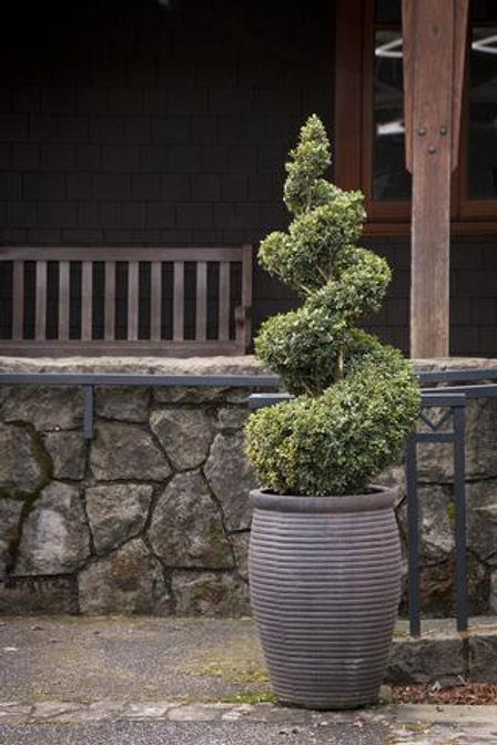 Buxus x Green Mountain (Boxwood) 'Green Mountain Spiral'