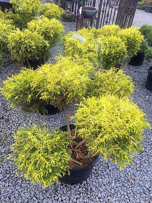 Chamaecyparis Pisifera (Falsecypress) 'Gold Mop' Pom Pom