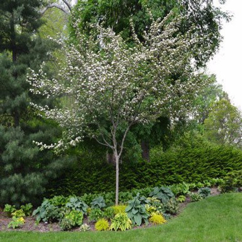 crataegus viridis hawthorn winter king deciduous specimen white flower burgundy