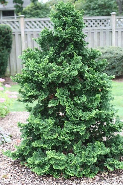 Chamaecyparis Obtusa (Dwarf Hinoki Cypress)