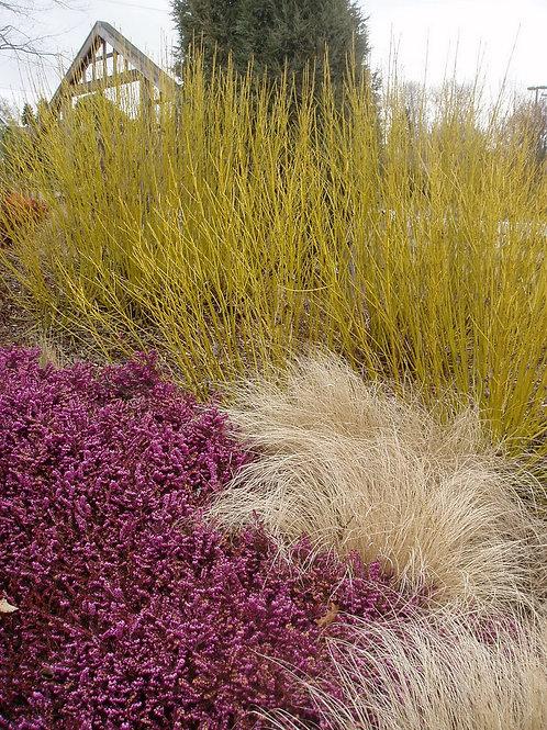 Corpus Sericea 'Yellow Twig' Dogwood