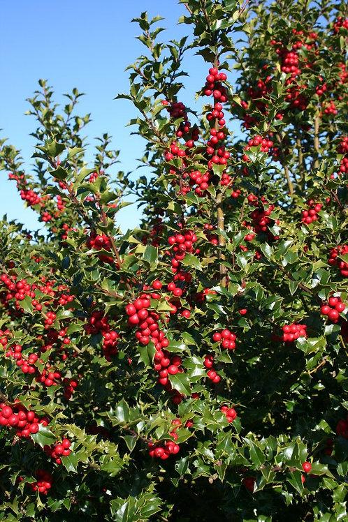 Ilex x Rutzan (Holly) 'Red Beauty'