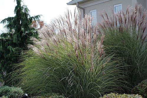 Miscanthus (Maiden Grass) 'Gracillimus'