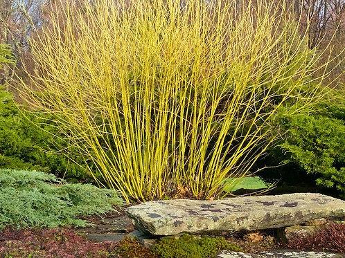Cornus Sericea 'Budd's Yellow' Dogwood