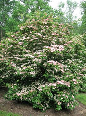 Cornus (Dogwood) 'Rutgers Rosy Teacups'