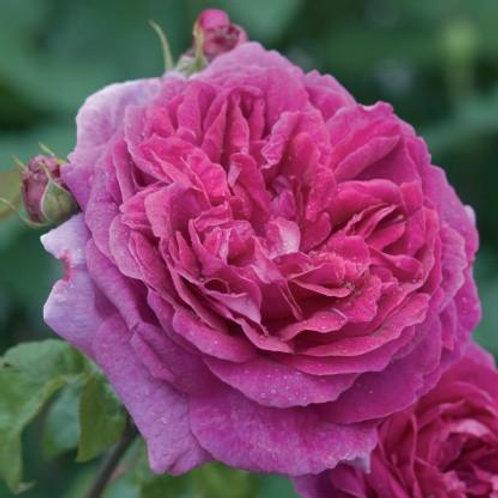 david austin rose young lycidas purple pink