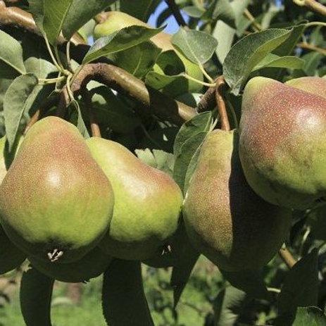 Pear Tree 'Bartlett'