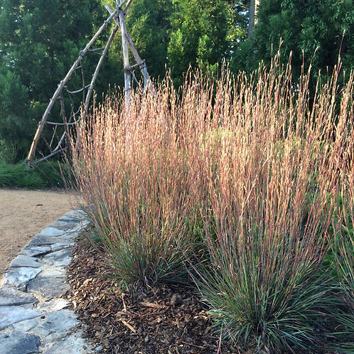 Carousel Little Bluestem (Schizachyrium Scoparium)
