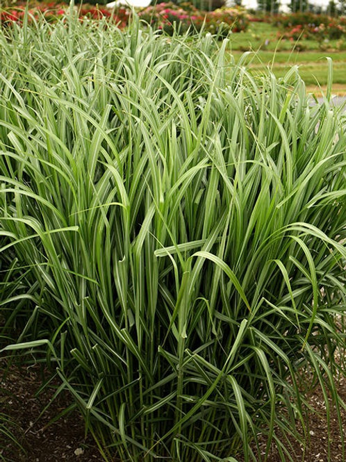 Miscanthus (Sterile Maiden Grass) 'My Fair Maiden'
