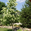 oxydendrum arboreum sourwood deciduous bold colorful vibrant specimen red pink white green yellow multi-season interest