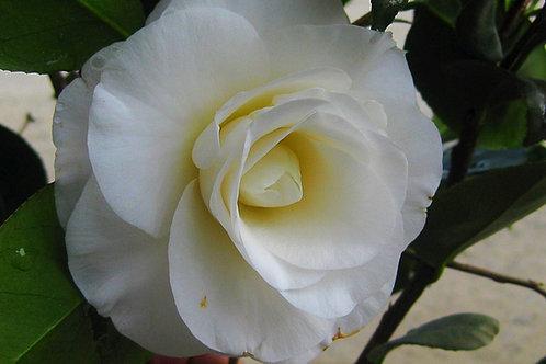 Camellia Japonica (Camellia) 'April Tryst'