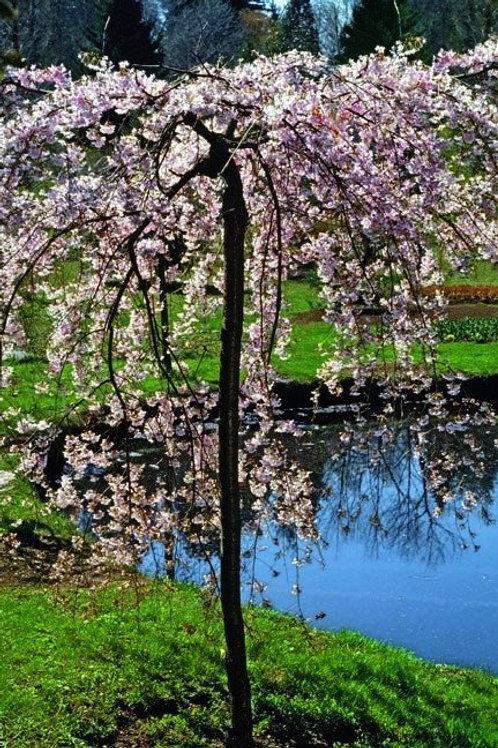 prunus subhirtella double weeping cherry specimen ornamental deciduous pink white flowers abundant profuse bloom