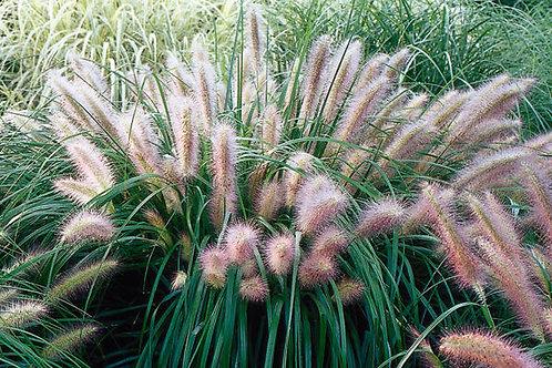 Fountain Grass (Pennisetum Setaceum) 'Red Head'