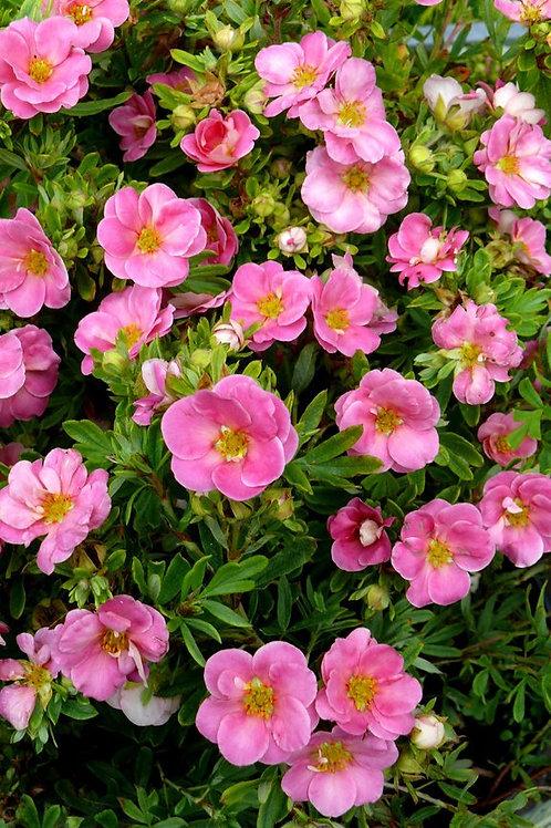 Potentilla Fruticosa (Cinquefoil) 'Pink Beauty'