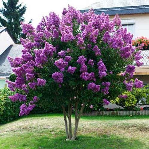 Crape Myrtle 'Purple Magic'