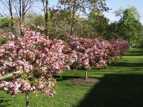 malus sargentii crabapple candymint pink flowers flowering magenta deciduous ornamental