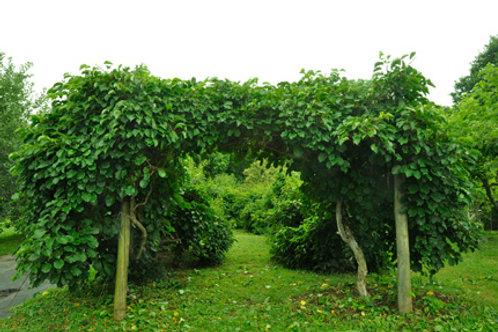 Hardy Kiwi Vines