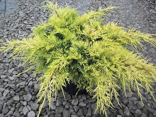 Juniperus Chinensis (Juniper) 'Gold Lace'