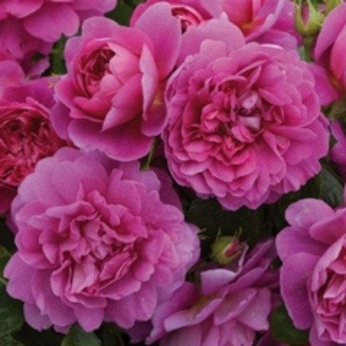 david austin rose princess anne pink magenta ruffled