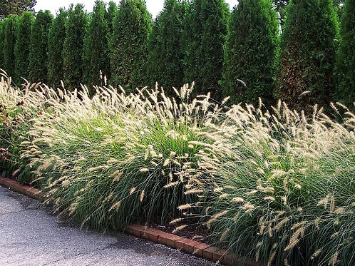 Fountain Grass (Dwarf) 'Hamlen""