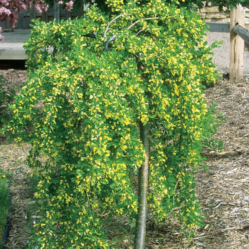 caragana arborescens weeping siberian peashrub pea shrub deciduous yellow flowers