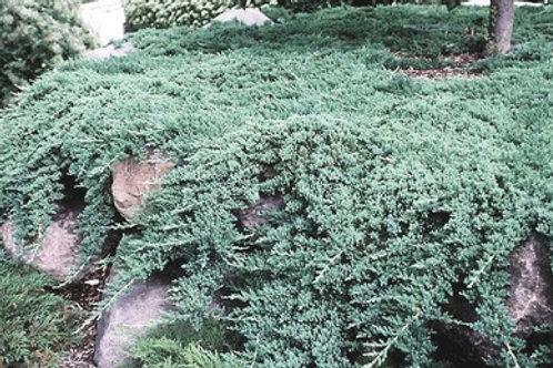Juniperus Procumbens (Juniper) 'Nana'