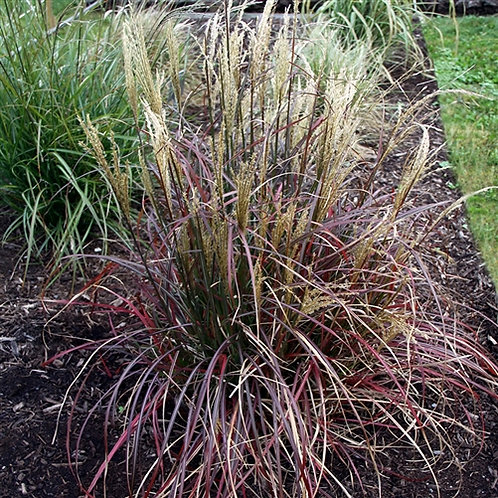 Miscanthus (Dwarf Maiden Grass) 'Little Miss'