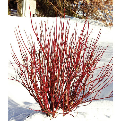 Cornus 'Arctic Fire' Red Twig Dogwood