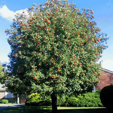sorbus aucuparis mountain ash cardinal royal deciduous shade red fruit white flowers fall color