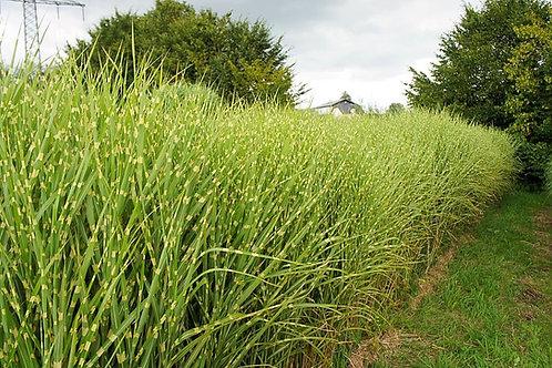 Miscanthus (Maiden Grass) 'Gold Breeze'