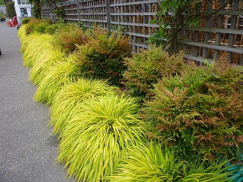 Hakone (Japanese Forest Grass) 'All Gold'