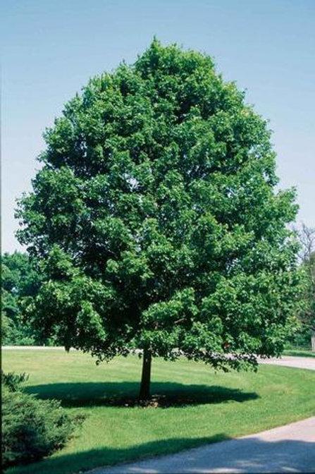 acer saccharum sugar maple commemoration shade orange fall color