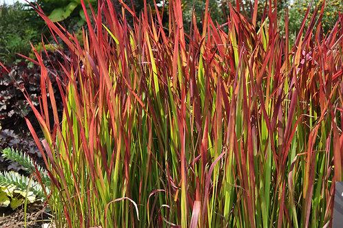 Japanese Blood Grass (Imperata Cylindrica)