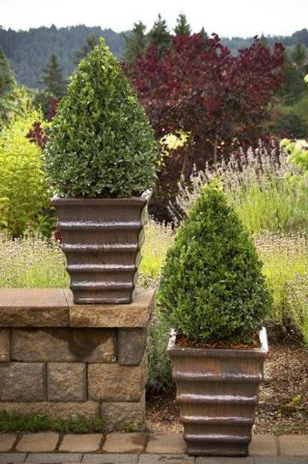 Buxus x Green Mountain (Boxwood) 'Green Mountain'