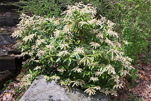Pieris Japonica (Andromeda) 'Cavatine'