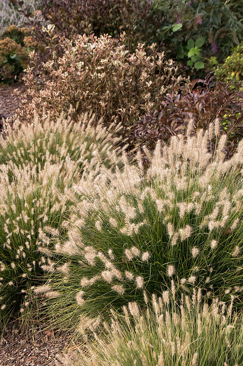 Fountain Grass Minature (Pennisetum Setaceum) 'Little Bunny'