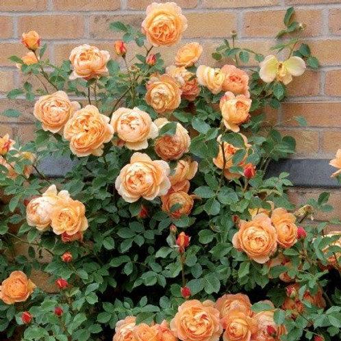 david austin rose lady of shalott golden light orange