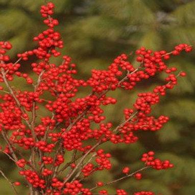 Ilex Verticllata (Winterberry) 'Berry Nice'