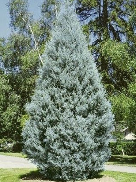 Cupressus Glabra (Cypress) 'Blue Ice'