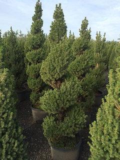 Picea Glauca Dwarf Alberta Spruce Spiral