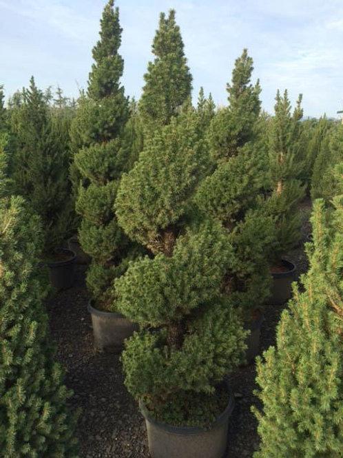Picea Glauca (Dwarf Alberta Spruce) 'Spiral'