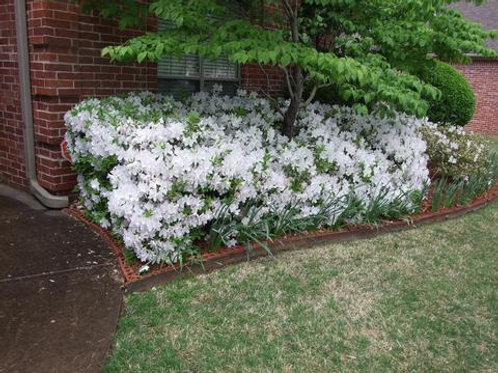 Azalea Bloom-A-Thon 'White'