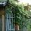 Thumbnail: Clematis 'Sweet Autumn'