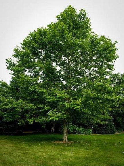 platanus occidentalist american sycamore deciduous bark fall color shade yellow green orange