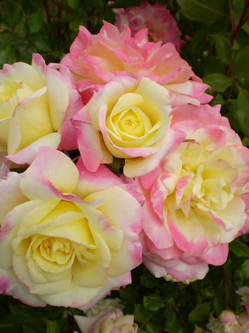 Rose: Easy Elegance 'Music Box'