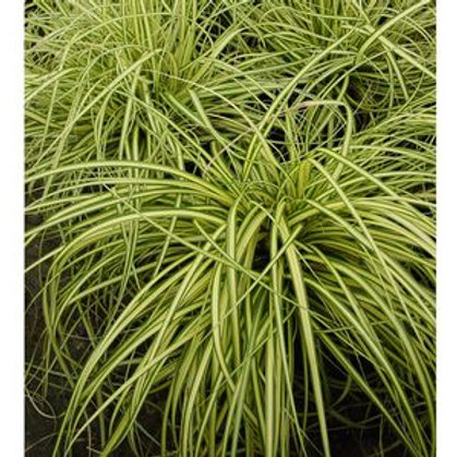 Carex (Sedge Grass) 'Gold Strike'