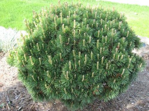 Pinus Mugo (Mugo Pine)