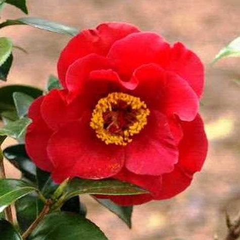 Camellia Japonica (Camellia) 'Dr. JC Raulston'