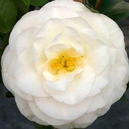 Camellia Japonica (Camellia) 'April Snow'