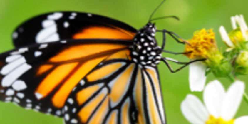 Pollinator Lecture Series: Butterflies!